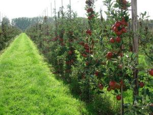 яблони рядами