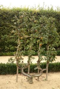 яблоня причудливой формы